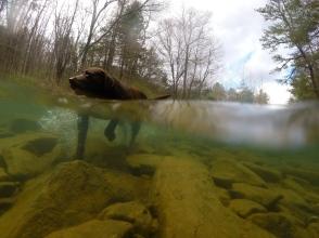Cooper in a Trout Stream